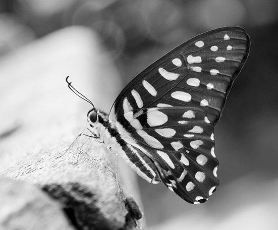 papallona