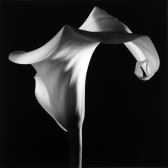robert_mapplethorpe_calla_lily_1986